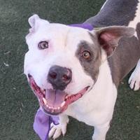 Adopt A Pet :: *SHAZAME - Las Vegas, NV