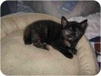 Domestic Shorthair Kitten for adoption in Charlotte, North Carolina - Penny