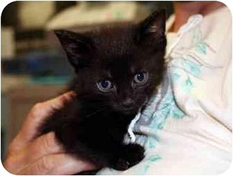 Bombay Kitten for adoption in Long Beach, New York - Chelsey
