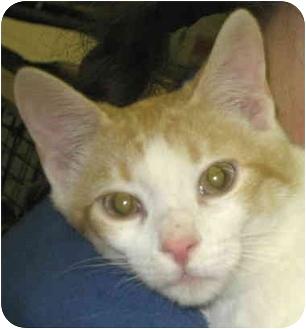 Domestic Shorthair Cat for adoption in Alden, Iowa - Church