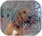 Bloodhound Dog for adoption in Georgetown, Kentucky - BUCK