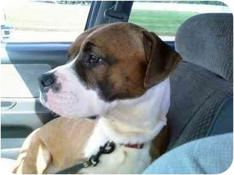 American Pit Bull Terrier/American Pit Bull Terrier Mix Dog for adoption in Sacramento, California - Bully, family pup