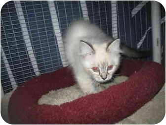 Ragdoll Kitten for adoption in Davis, California - Tiger Lily