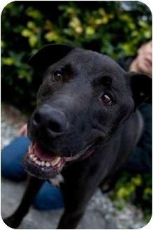 Labrador Retriever/Shepherd (Unknown Type) Mix Dog for adoption in Los Angeles, California - Puma