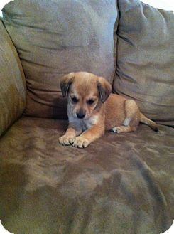 Labrador Retriever/Shepherd (Unknown Type) Mix Puppy for adoption in Lexington, Kentucky - Moe,Larry, Curly