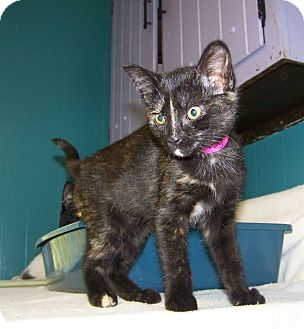 Domestic Shorthair Kitten for adoption in Dover, Ohio - Turvy