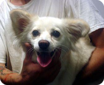 Papillon/American Eskimo Dog Mix Dog for adoption in Manassas, Virginia - Mona