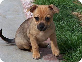 Beagle/Cocker Spaniel Mix Puppy for adoption in La Habra Heights, California - Bree