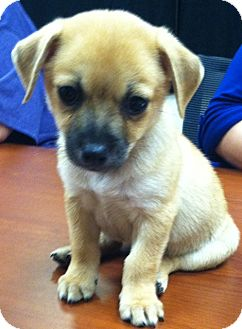 Pomeranian/Chihuahua Mix Puppy for adoption in Somers, Connecticut - Chachee