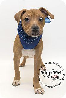 Boxer Mix Puppy for adoption in Troy, Ohio - Duke