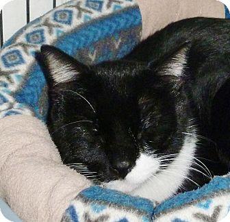 Domestic Shorthair Cat for adoption in Pueblo West, Colorado - Pueblo