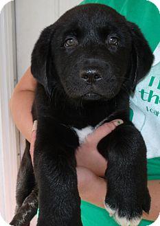 Labrador Retriever Puppy for adoption in Corona, California - FLYNN
