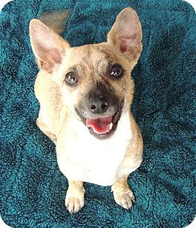 Chihuahua/Dachshund Mix Dog for adoption in La Habra Heights, California - Lita