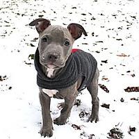 Adopt A Pet :: Litter of blue male puppies - Reisterstown, MD