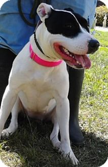 Bull Terrier Mix Dog for adoption in Walden, New York - Speckles