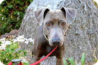 Whippet Mix Dog for adoption in Los Angeles, California - Tucker - 29lbs