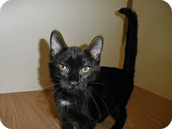 Domestic Shorthair Cat for adoption in Milwaukee, Wisconsin - Snugglebunny