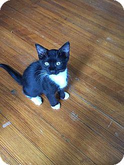 Domestic Shorthair Kitten for adoption in Middletown, Rhode Island - Socks