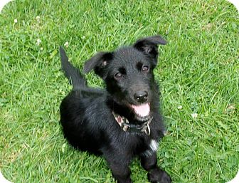 Terrier (Unknown Type, Small)/Dachshund Mix Puppy for adoption in Liberty Center, Ohio - Bliss