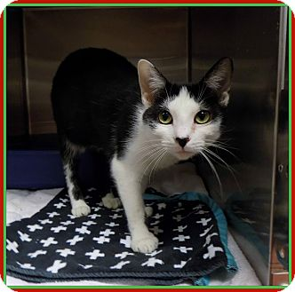 Domestic Shorthair Cat for adoption in Marietta, Georgia - TROUBLE (R)
