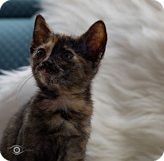 Domestic Shorthair Kitten for adoption in Stafford, Virginia - Cosette