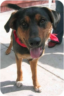 Rottweiler/Shepherd (Unknown Type) Mix Dog for adoption in Chicago, Illinois - Rudy