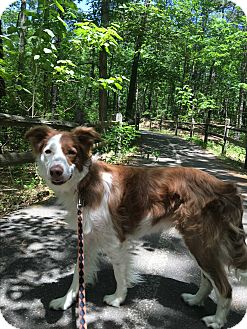 Border Collie Dog for adoption in Cedarbrook, New Jersey - Crash