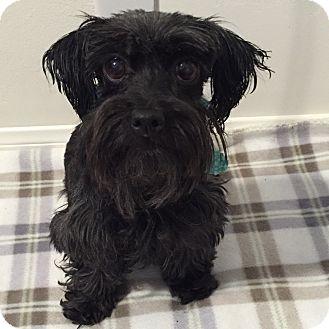 Schnauzer (Miniature)/Maltese Mix Dog for adoption in Redondo Beach, California - Pokey
