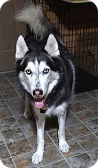 Siberian Husky Dog for adoption in Corriganville, Maryland - Poseidon