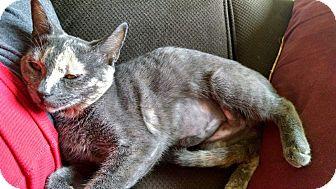 Domestic Shorthair Kitten for adoption in Keller, Texas - Gracie