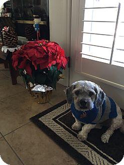 Lhasa Apso/Poodle (Miniature) Mix Dog for adoption in Las Vegas, Nevada - Grumpus