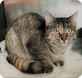 Domestic Shorthair Kitten for adoption in Monroe, Michigan - Ghost