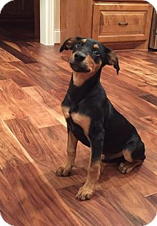 Blue Lacy/Texas Lacy/Doberman Pinscher Mix Puppy for adoption in Wellesley, Massachusetts - Obi