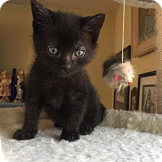 Domestic Shorthair Kitten for adoption in Wayne, New Jersey - Bear Claw