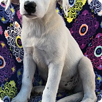 Adopt A Pet :: Lab mix litter females - East Hartford, CT