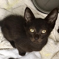 Adopt A Pet :: Silo Kitten - Homestead, FL