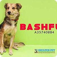 Adopt A Pet :: Bashful - San Angelo, TX