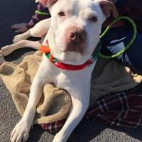 Adopt A Pet :: Big Boy - Myrtle Beach, SC