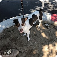 Adopt A Pet :: Shortcake - Lucerne Valley, CA