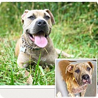 Mastiff/American Pit Bull Terrier Mix Puppy for adoption in Eugene, Oregon - Aitor