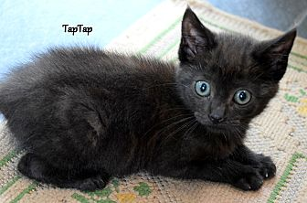 Domestic Mediumhair Kitten for adoption in Mount Pleasant, South Carolina - Tap Tap