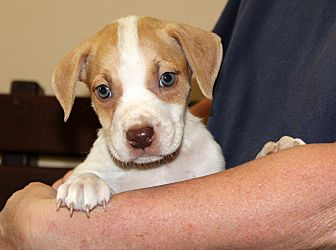 Labrador Retriever/Boxer Mix Puppy for adoption in Southbury, Connecticut - Auggie