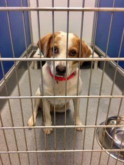 Hound (Unknown Type) Mix Dog for adoption in Alpharetta, Georgia - Gilbert