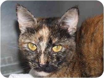 Domestic Shorthair Cat for adoption in El Cajon, California - Sabrina