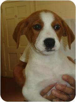 Collie/Labrador Retriever Mix Puppy for adoption in Old Bridge, New Jersey - Haya