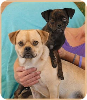 Chihuahua/Pug Mix Puppy for adoption in Las Vegas, Nevada - Rhea
