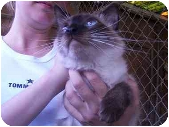 Balinese Cat for adoption in LosAngeles, California - Ava