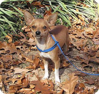 Chihuahua Dog for adoption in Oakland, Arkansas - Taco
