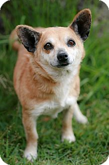Chihuahua Mix Dog for adoption in Poway, California - LAILA