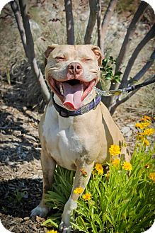 Pit Bull Terrier Mix Dog for adoption in Sacramento, California - Happy